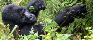 gorilla-protection.jpg